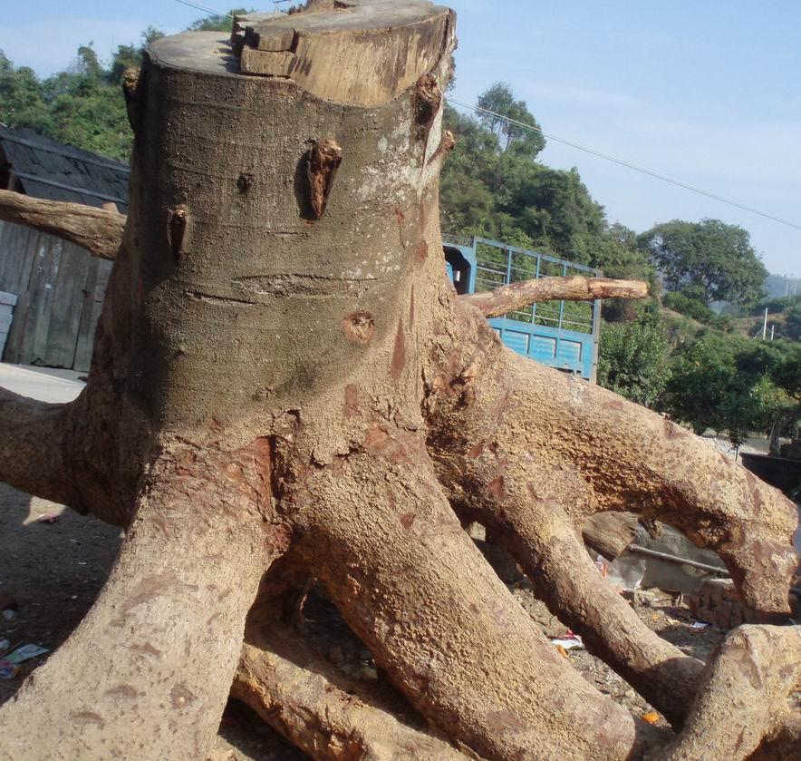 批大小各异的格木树根